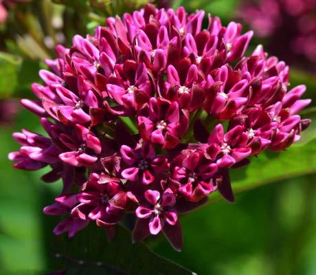 Asclepias-purpurascens-blossom