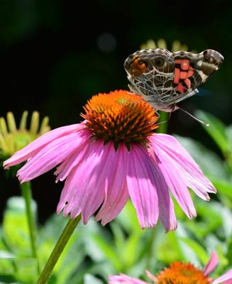 American-lady-on-Coneflower