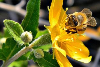 Honey Bee on Poor Man's Patch (Mentzelia floridana)
