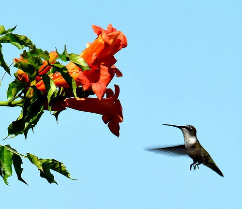 Humming Bird and Trumpet Creeper (Campsis radicans)