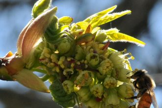 Honey Bee on Big Leaf Maple