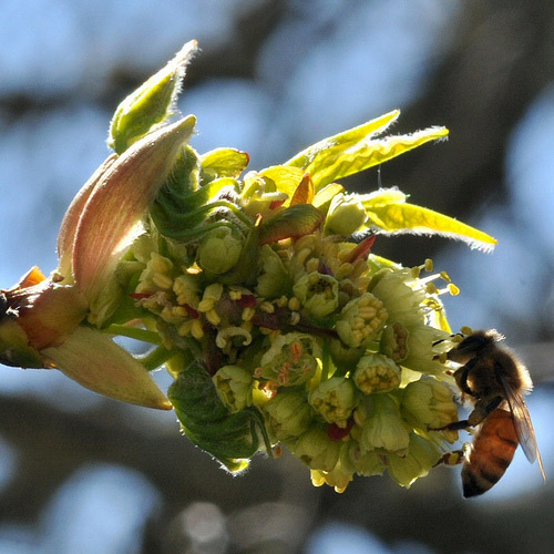 Honey Bee on Big Leaf Maple