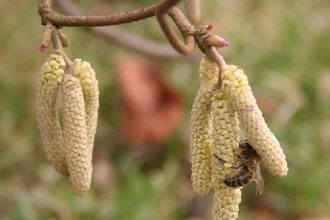 Honey Bee on Corylus