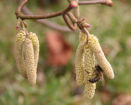 Honey Bee on Corylus