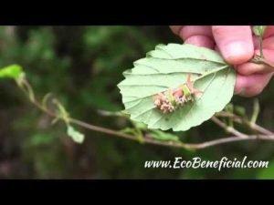 EcoBeneficial Tips: Doug Tallamy in His Garden with Arrowwood Viburnum and Saddleback Caterpillar - EcoBeneficial! ®