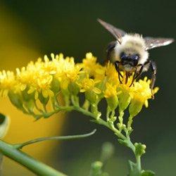 Solidago-Bee