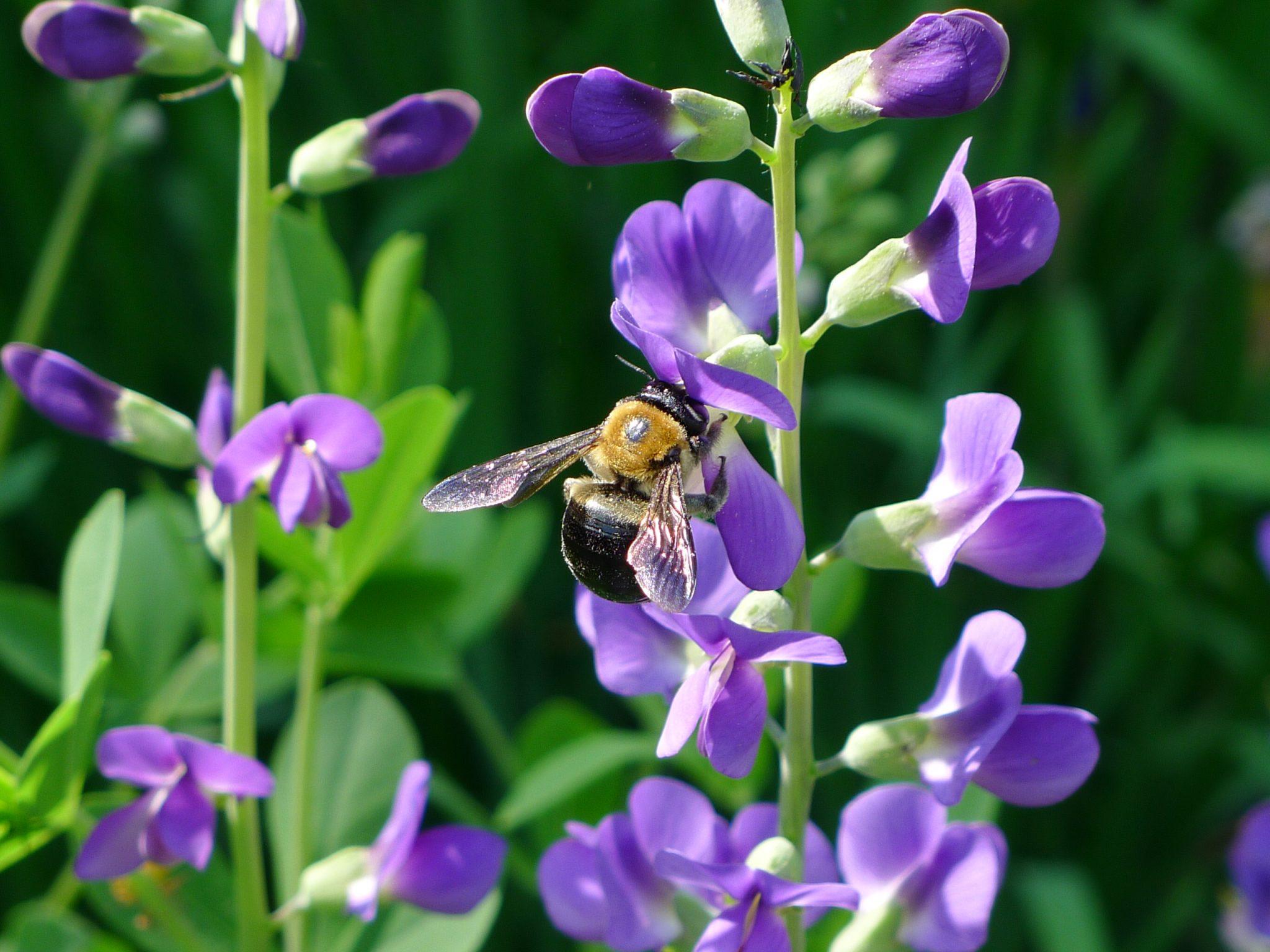 Bee on Baptisia_chipmunk_1