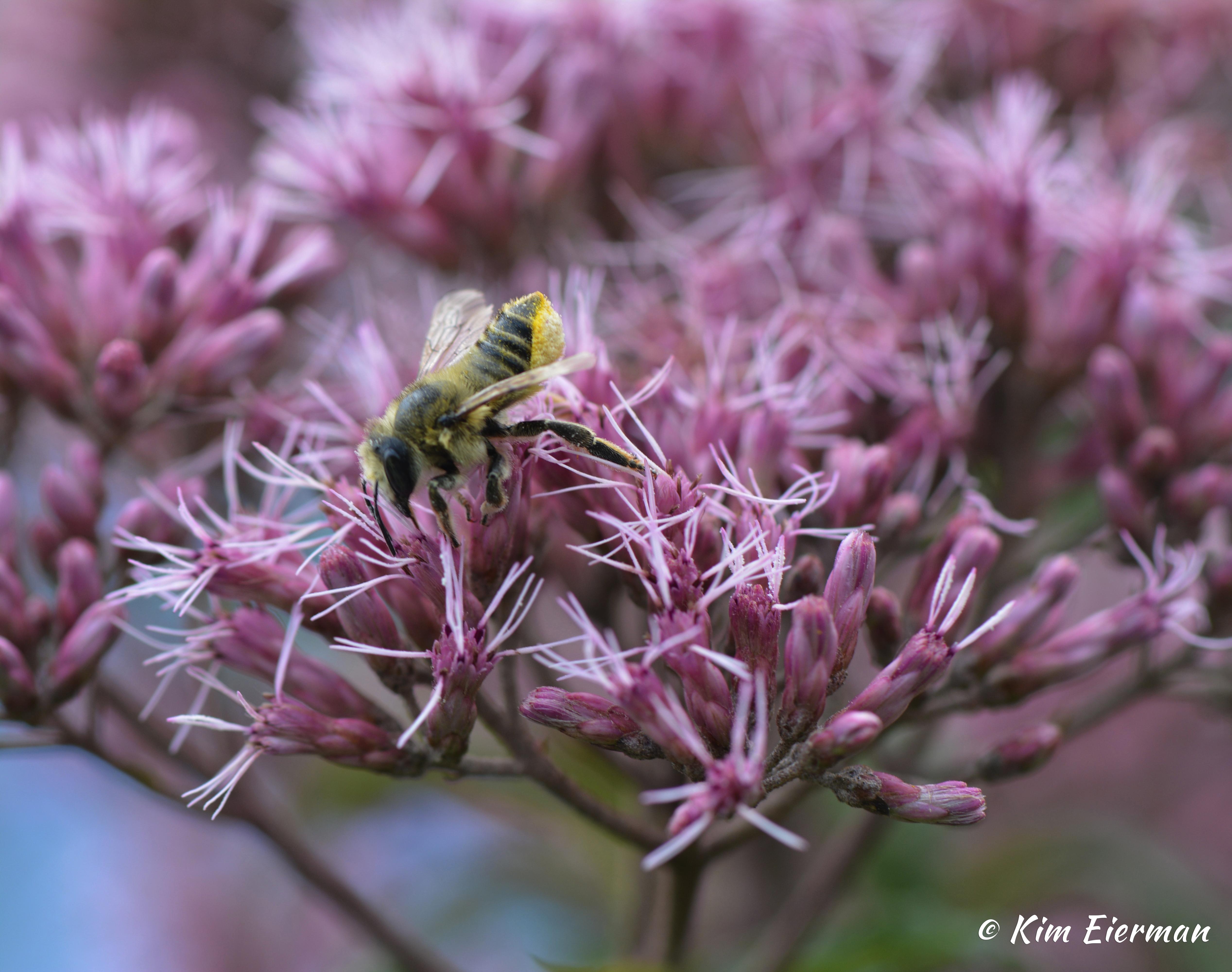 chicago botanic garden report joe pye weeds u0026 their relatives