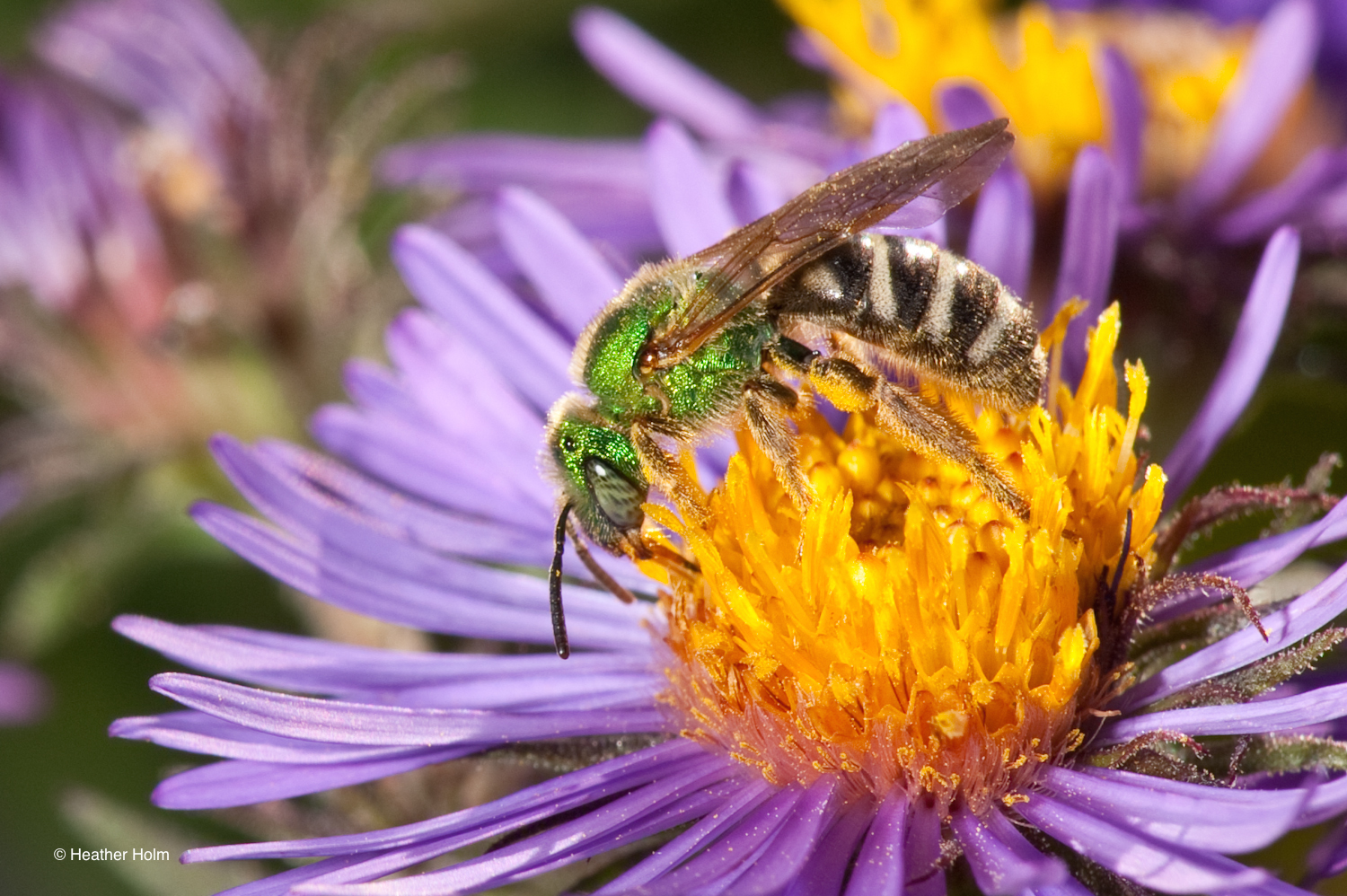 pollinators of native plants with heather holm