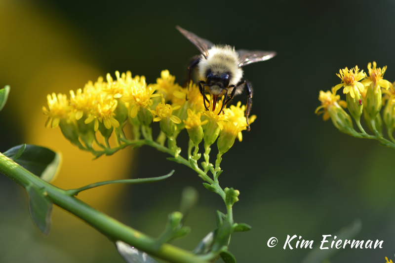 Native Bee and Goldenrod