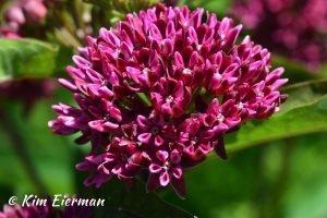 Asclepias purpurascens blossom