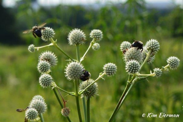 Eryngium and Bumble Bees