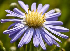 Smooth Blue Aster (photo by Frank Mayfield)