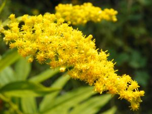 Canada Goldenrod (Solidago canadensis) photo by Peter O'Connor_Flickr