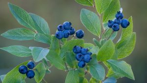Vaccinium corymbosum (Highbush Blueberry) Photo: Flickr- Ed Posr