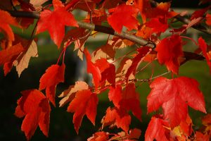 Red Maple in fall color Photo: Flickr_rosemaryluck