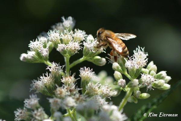 Honey bee on Common Boneset (Eupatorium perfoliatum)