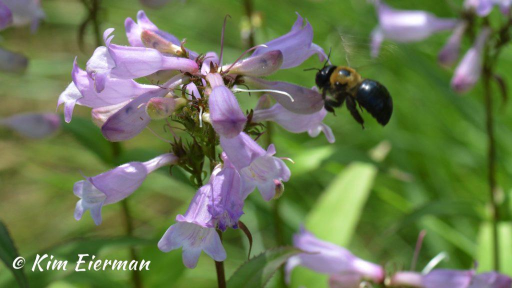 Bee_Pentsemon Horizontal