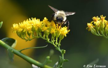 Bumble Bee on Solidago