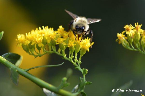 Bumble Bee on Solidago