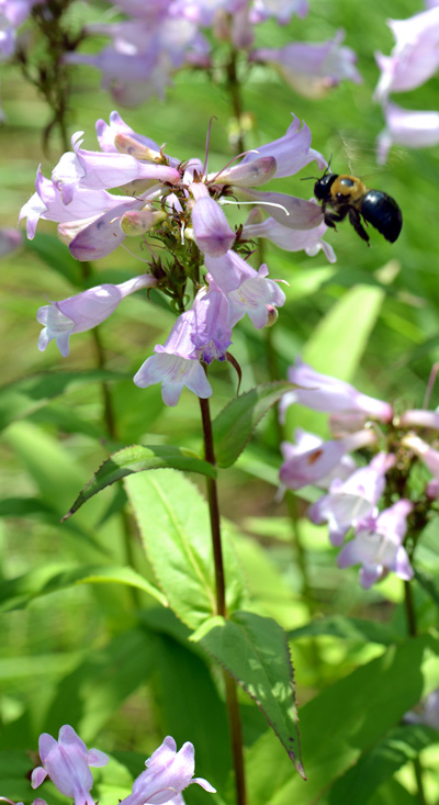 Carpenter Bee on Penstemon