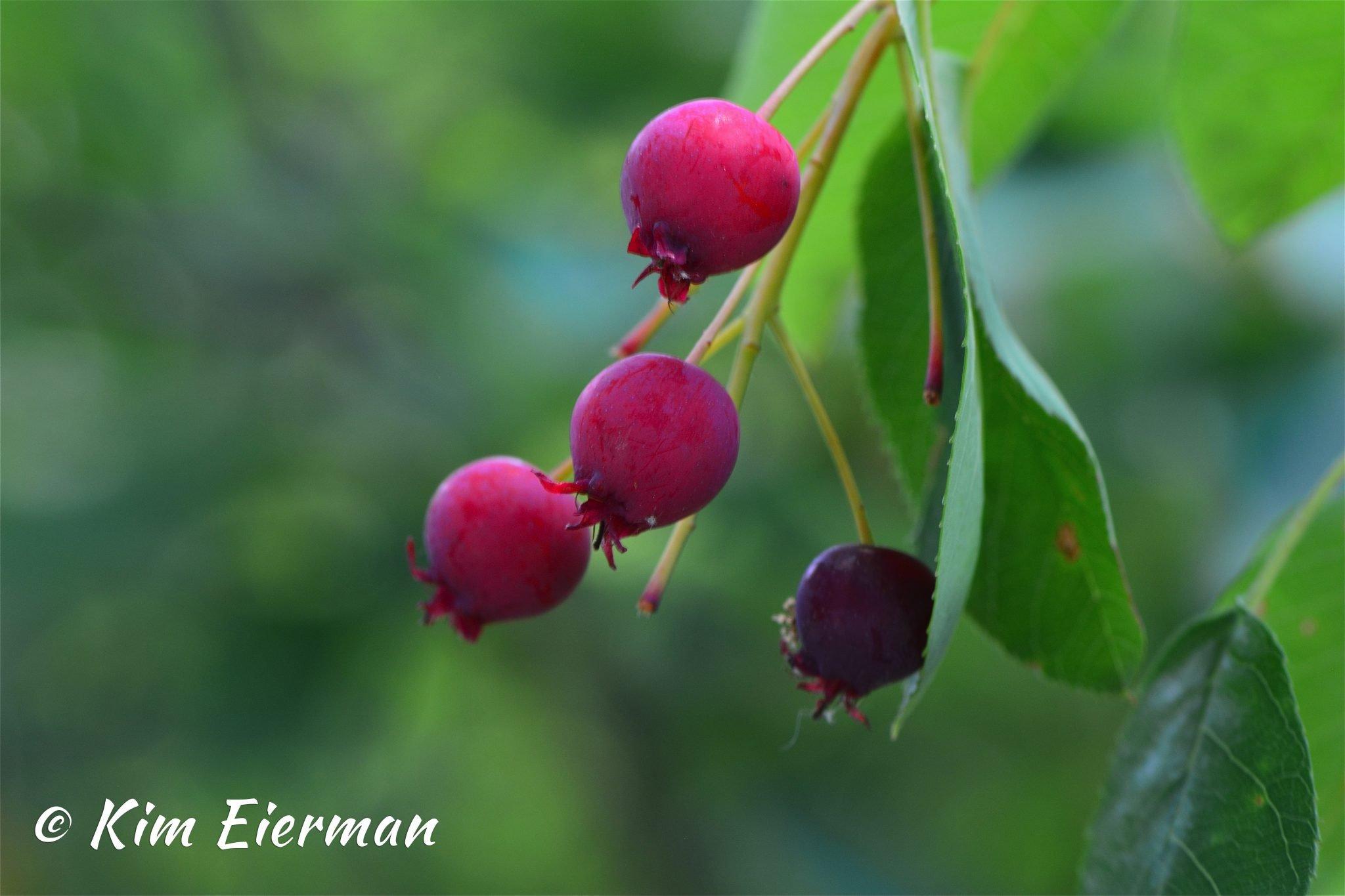 Juneberries copy 2