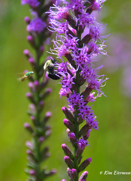Liatris-and-bees
