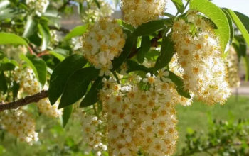 Flowers-of-Native-Chokecherry