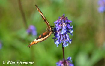 Butterfly Garnet Ghost Town