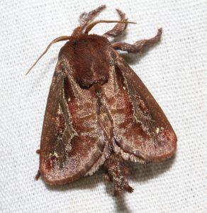 Saddleback Caterpillar Moth (photo credit: Roy Morris/Flickr)