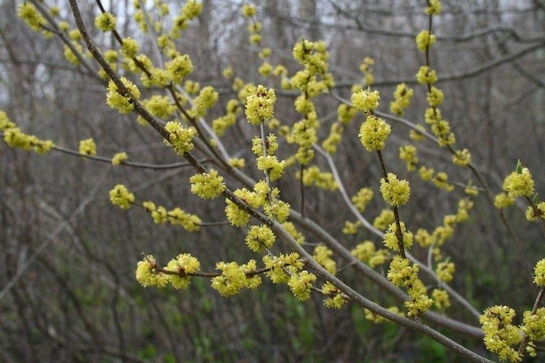 lindera-benzoin-flower