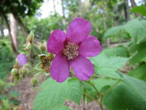 Rubus odoratus photo credit: RockerBoo