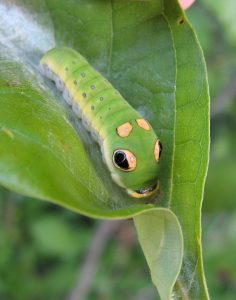 Spicebush Swallowtail Caterpillar photo credit: Flickr_poppy2323