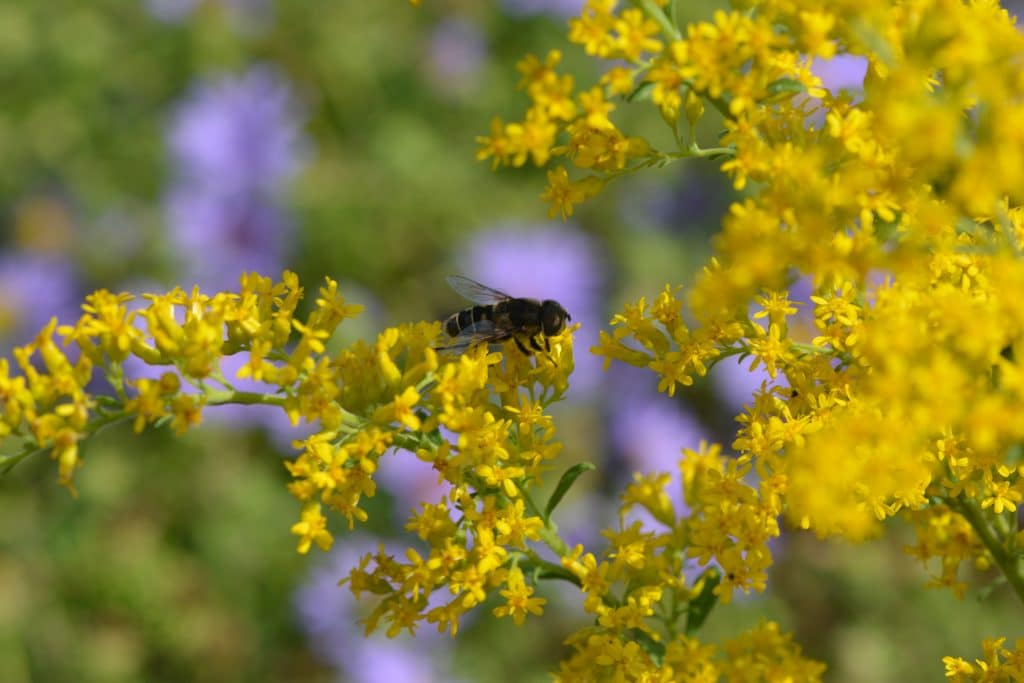 Bee on Goldenrod with Aster2