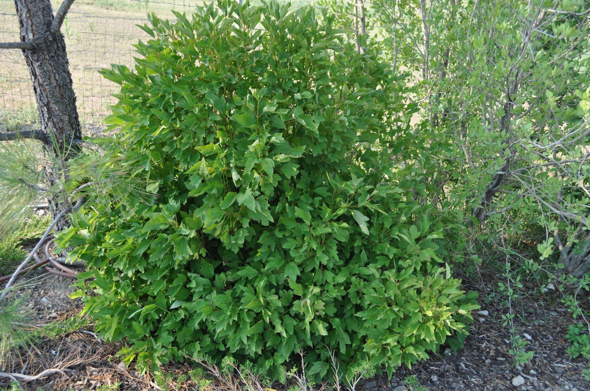 Viburnum-opulus-var.-americanum-Bailey-Compact-Bailey-Compact-American-Cranberrybush-CLOSEUP-scaled