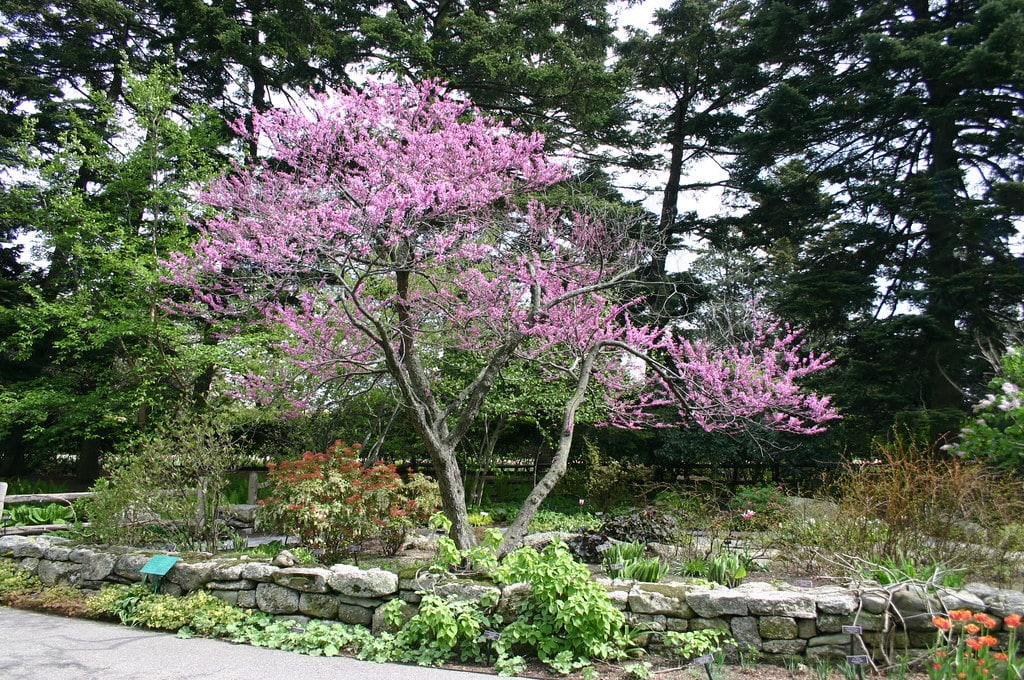 Cercis canadensis_Ryan Somma