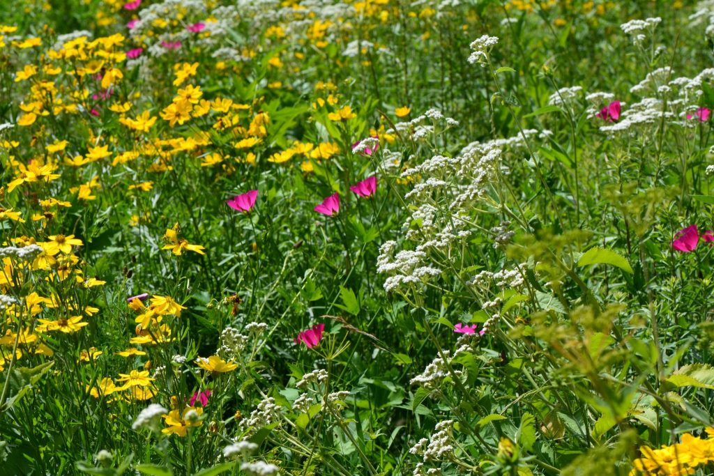Native-Perennials-as-Ecological-Alternative-to-Lawn-copy-scaled