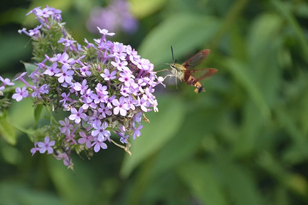 Clearwing Moth (1)