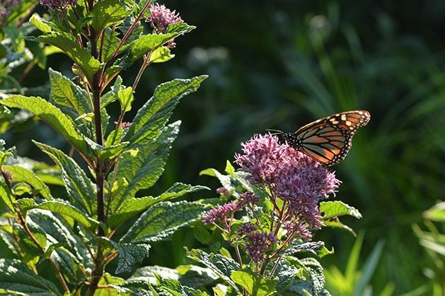 Monarch on Joe Pyeweed