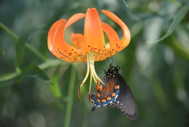 Swallowtail-Butterfly-on-Turks-Cap-Lily
