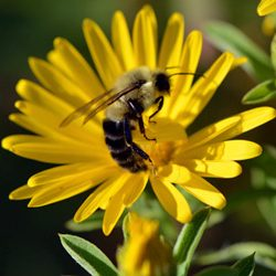 Chrysopsis-and-Bee